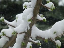 SnowOnBuds
